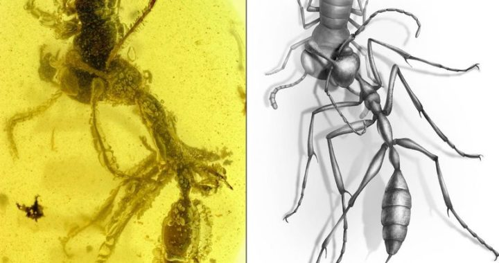 The amber fossil found with the extinct hell ant inside
