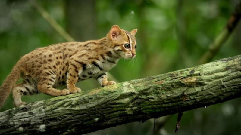 The Tiny Rusty-Spotted Cat Is a Feisty Little Animal