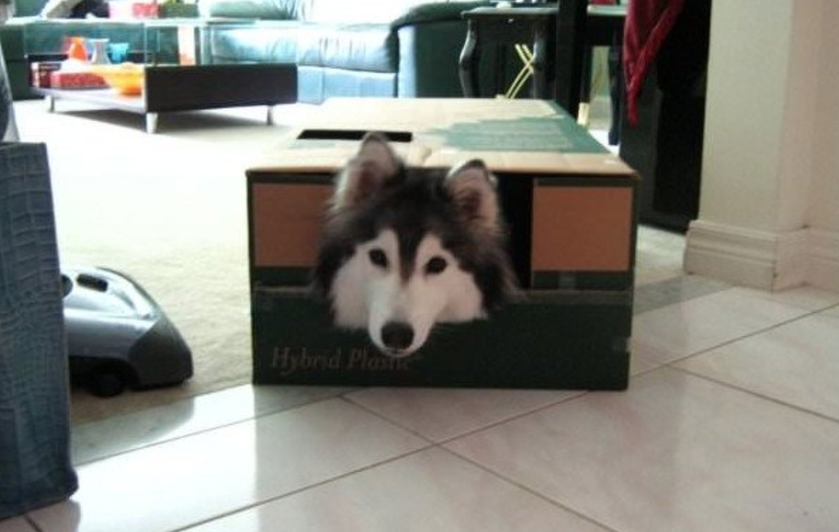 This Husky is Convinced He's a Cat Because He Was Raised With Cats!