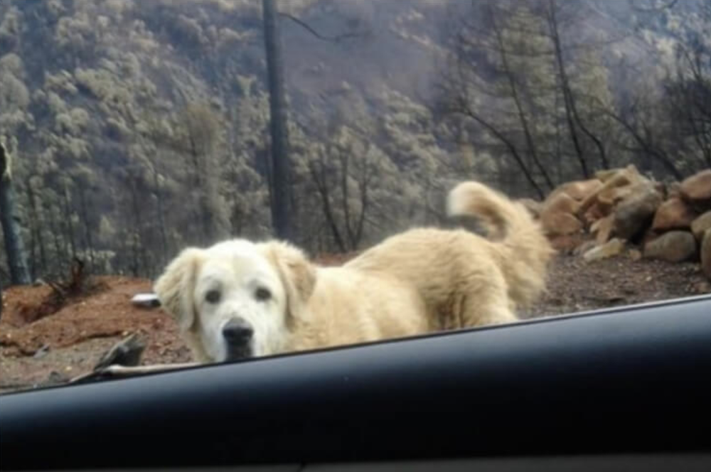 Madison the dog stood guard after California wildfire until owner returned