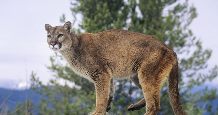 The return of wolves spells trouble for the mountain lion population