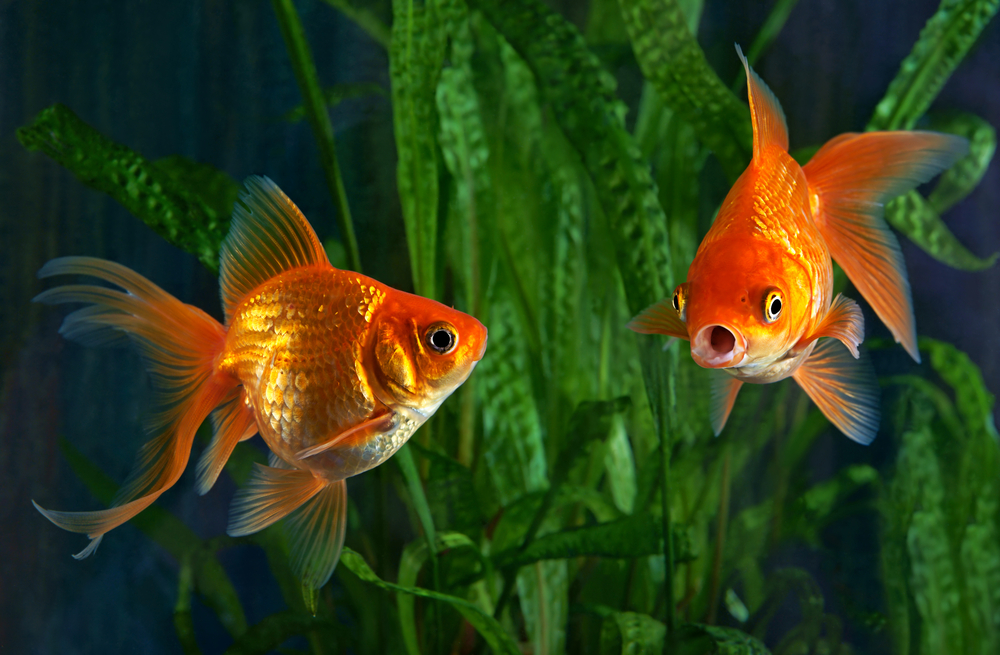 What is the perfect water temperature for a goldfish?