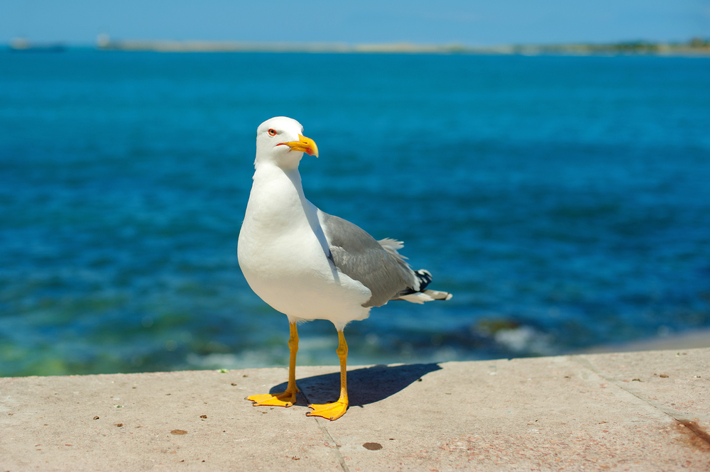 Seagull Swoops Down, Picks Up Pet Chihuahua And Flies Away