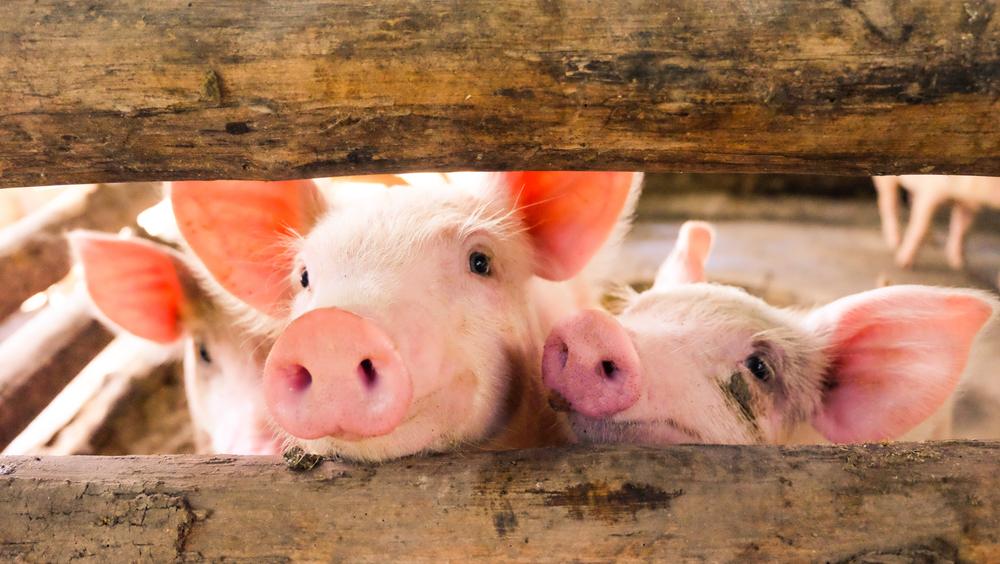 Pigs aren't pink